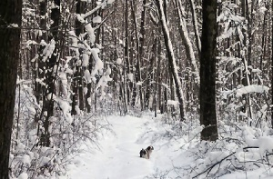 Dolly Choosing Our Snowshoeing Path In The Woods